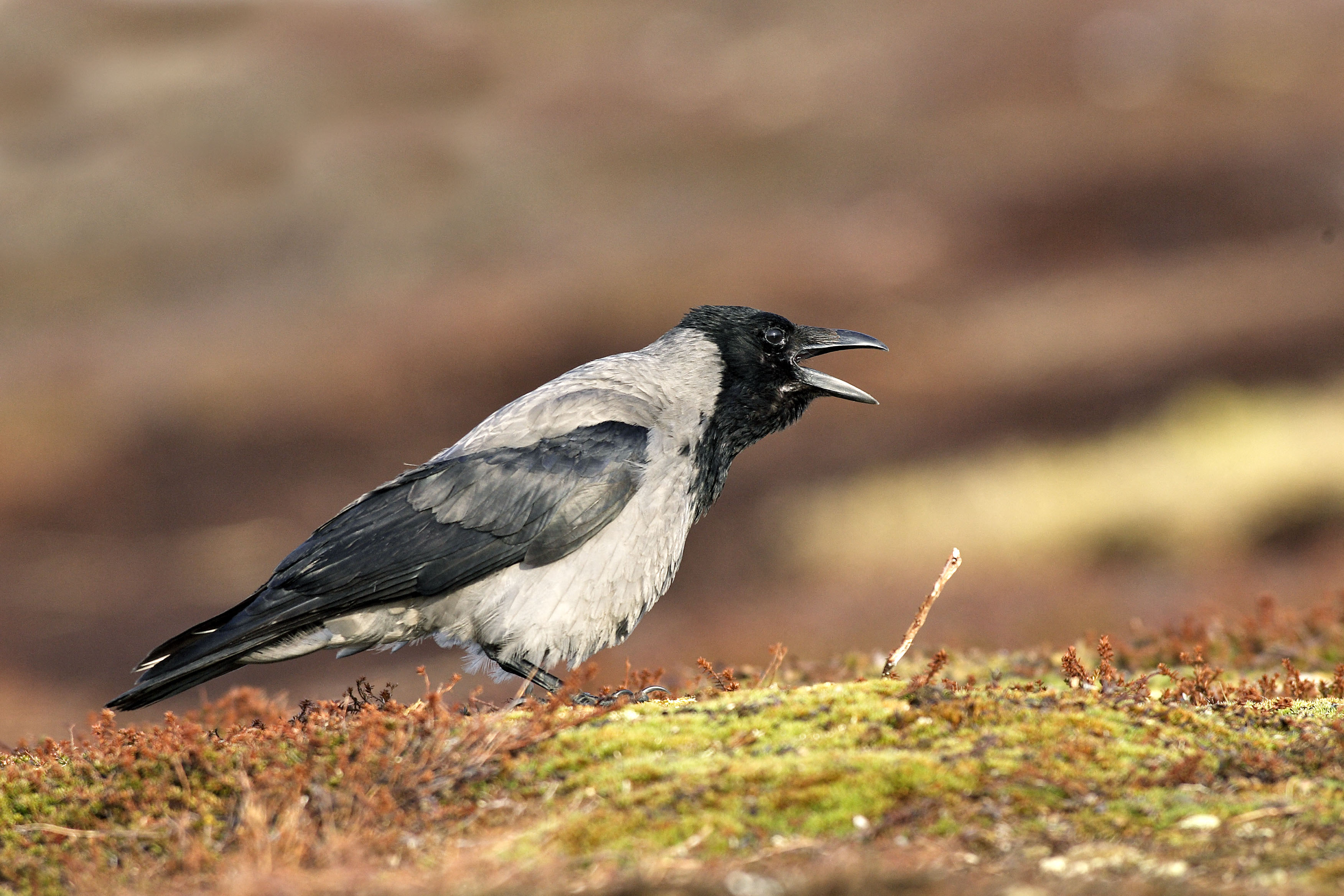 Június közepéig tarthat a varjúveszély a fészkek közelében