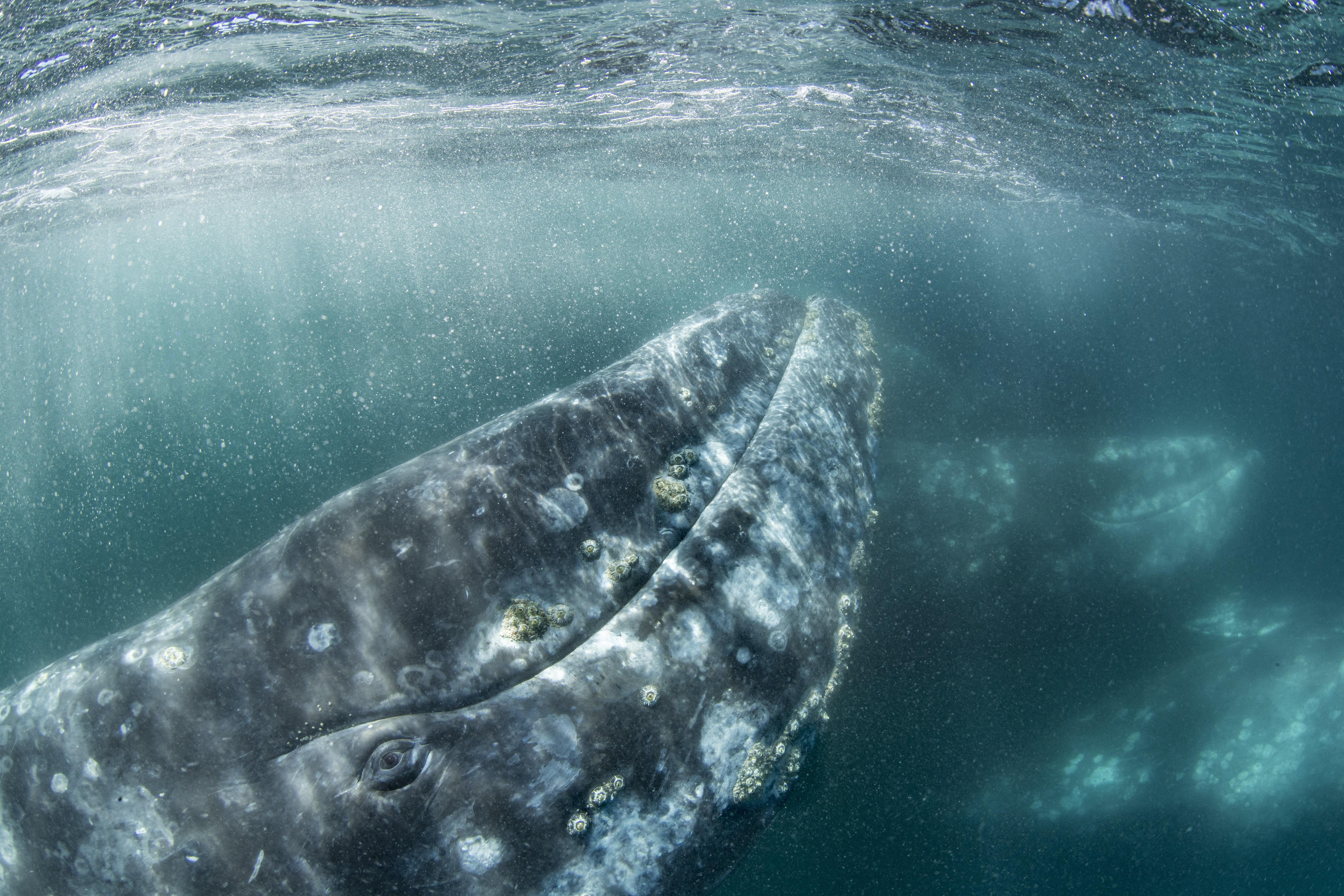 Eltévedt szürkebálna bolyong a Földközi-tengerben