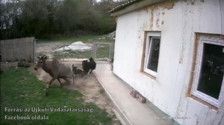 Videóra vették, ahogy ahogy két elszabadult kutya egy szarvast üldöz Szentkirályszabadján