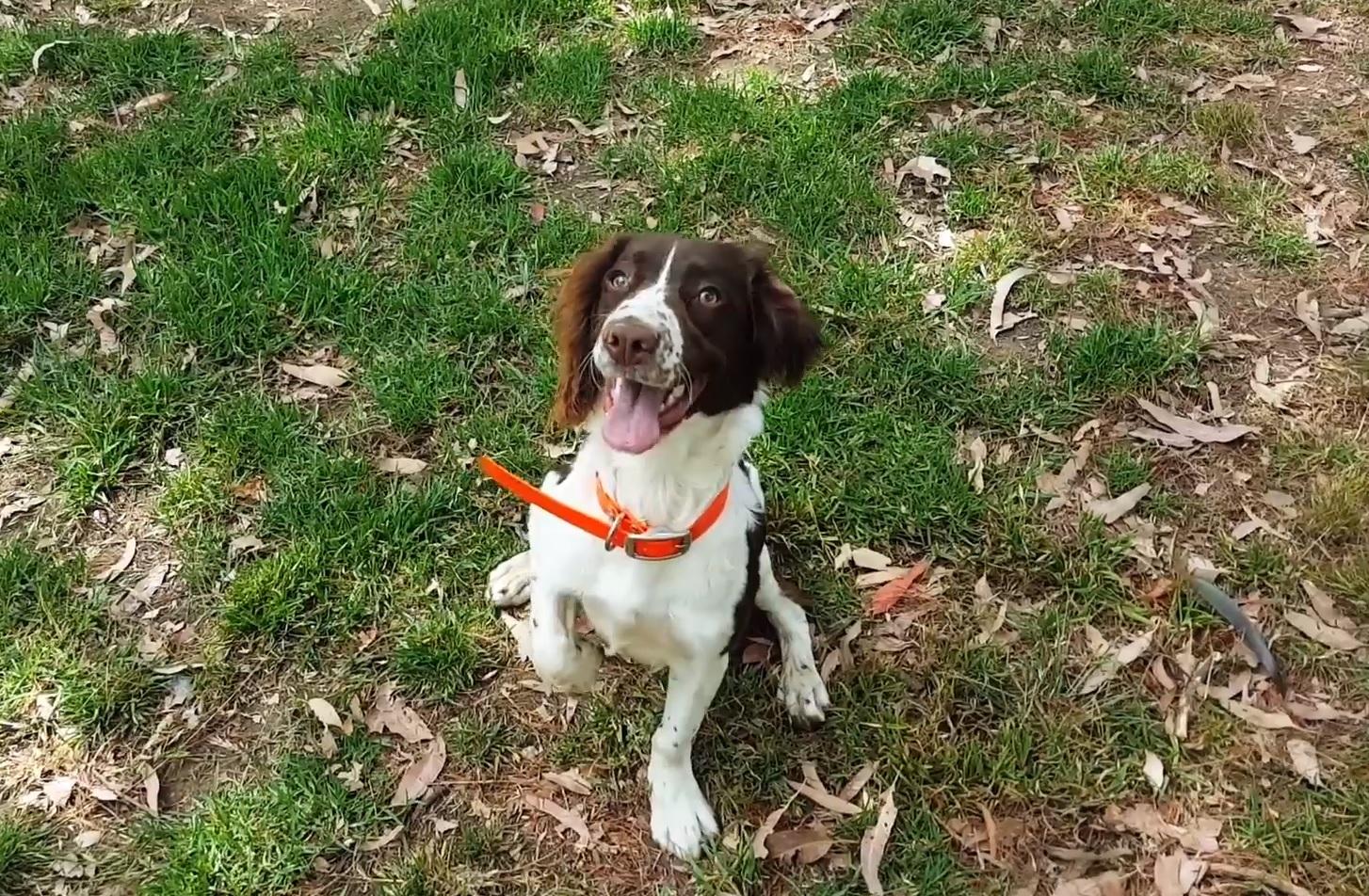 880 millió liter vizet spórolt meg az ausztráloknak Kep, Ausztrália első csőrepedés-kiszagoló kutyája