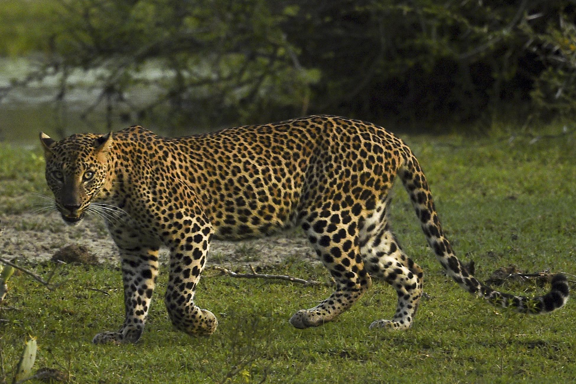 Egy hétig próbálták elhallgatni, hogy megszökött három leopárd egy kínai szafariparkból