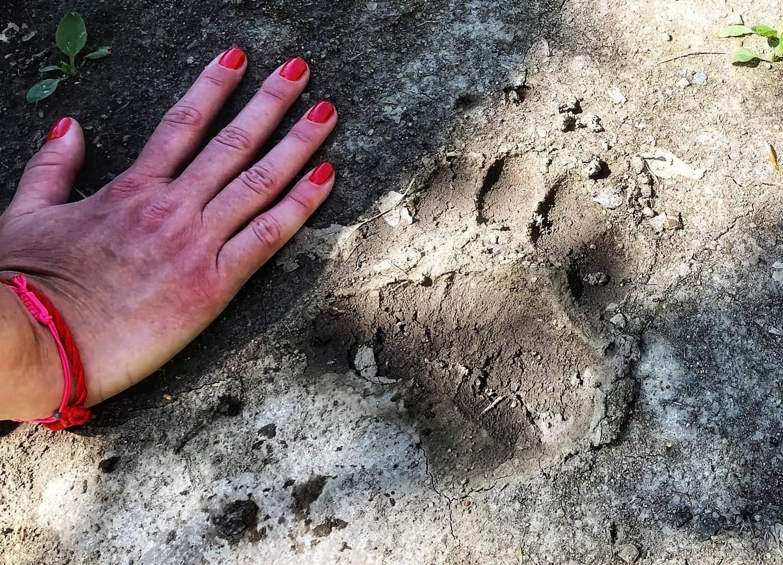 Medvelábnyomot találtak a Börzsönyben