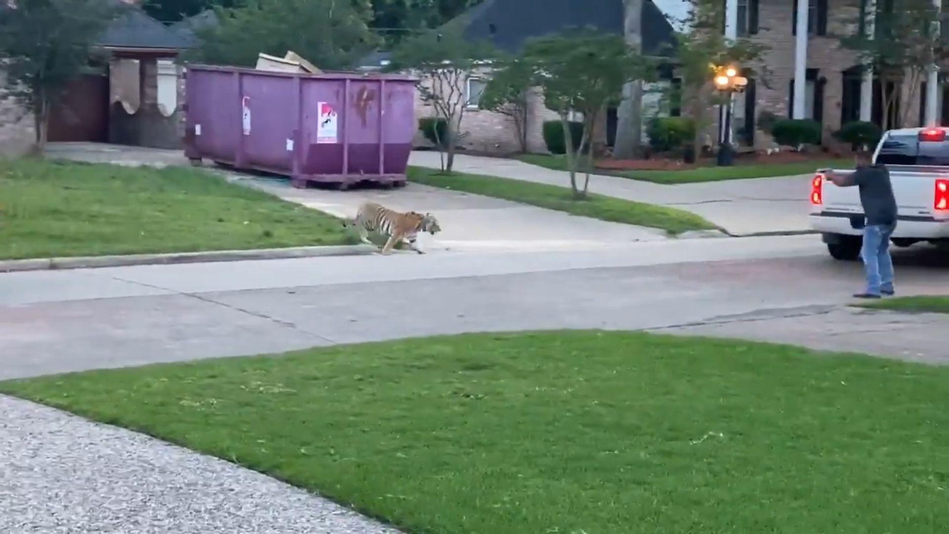 Meglett a tigris, amit a rendőrök elől menekülő férfi társaságában láttak Houstonban