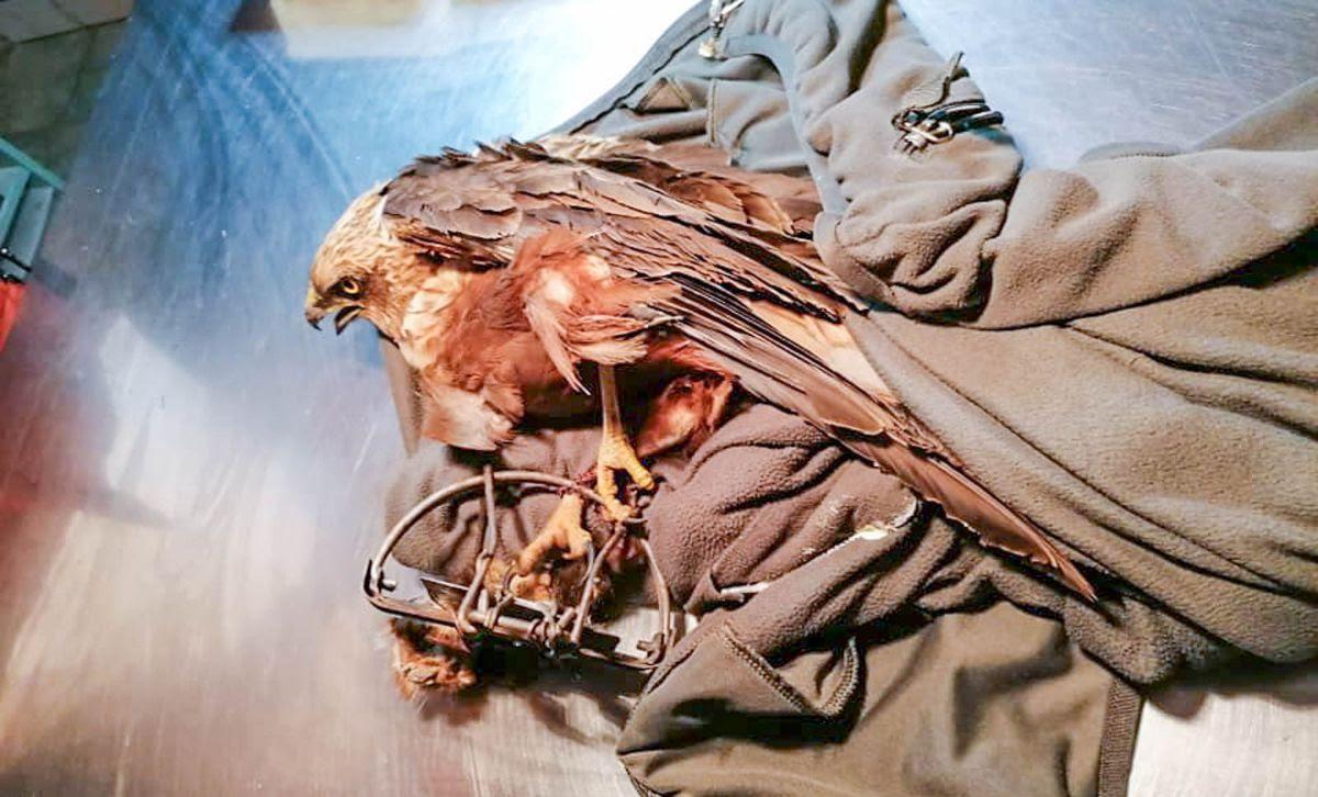 Hetente tucatnyi védett madarat kell kezelni, mert meglövik őket légpuskával, vagy szabálytalan csapdákba szorulnak