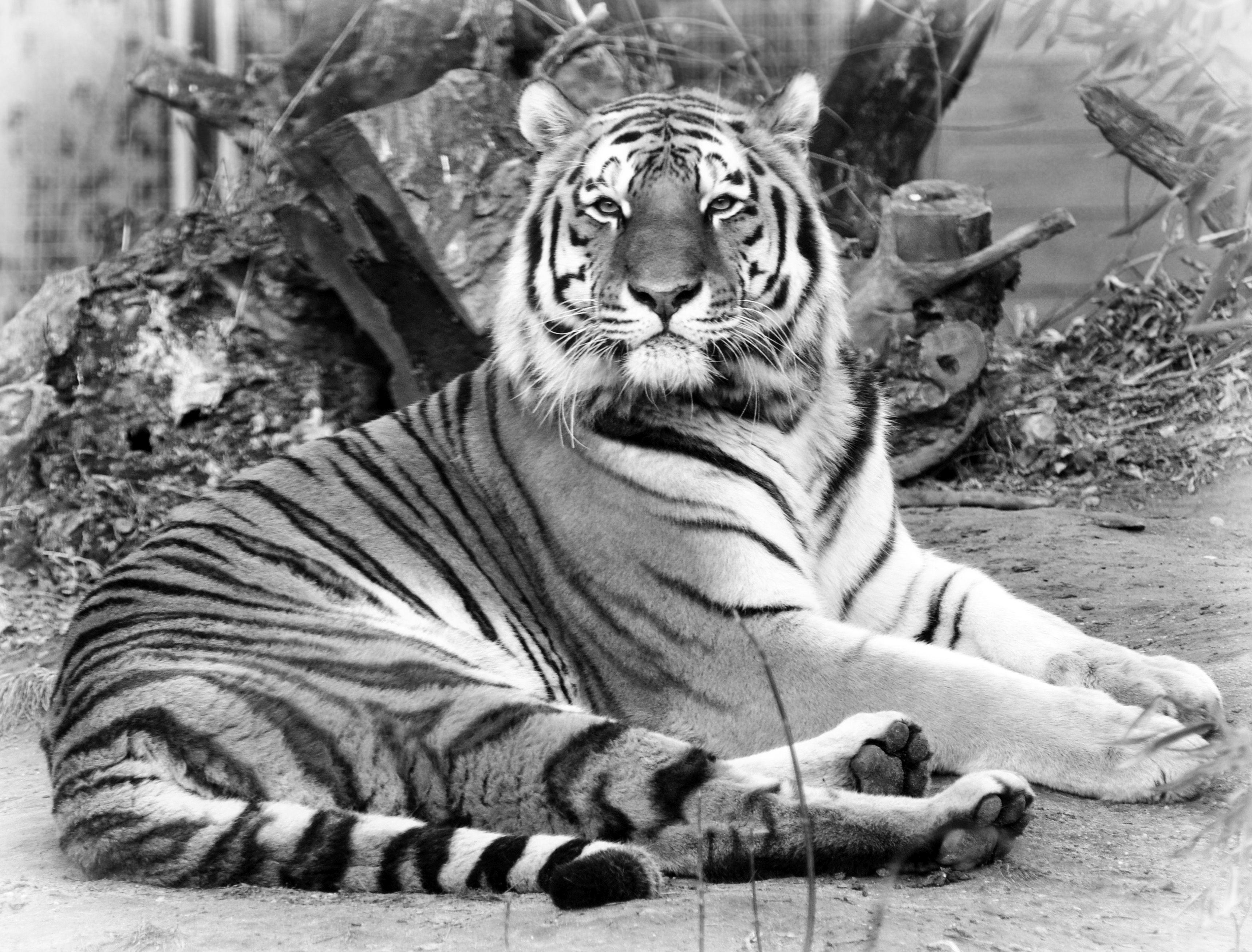 RIP Norbi: elaltatták a budapesti állatkert ősöreg tigrisét
