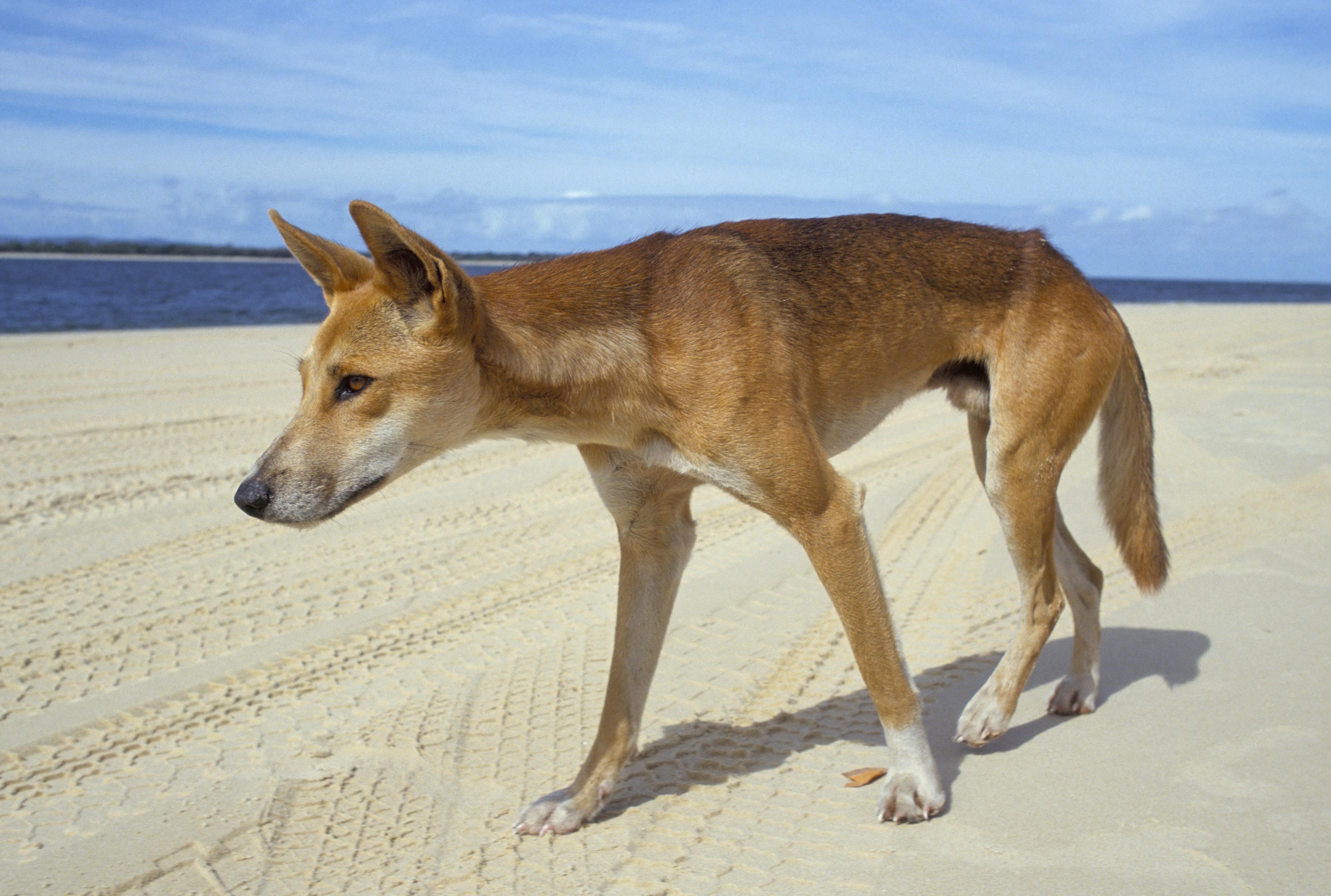 Kerítést építenek egy ausztrál városka köré a dingók folyamatos támadásai miatt