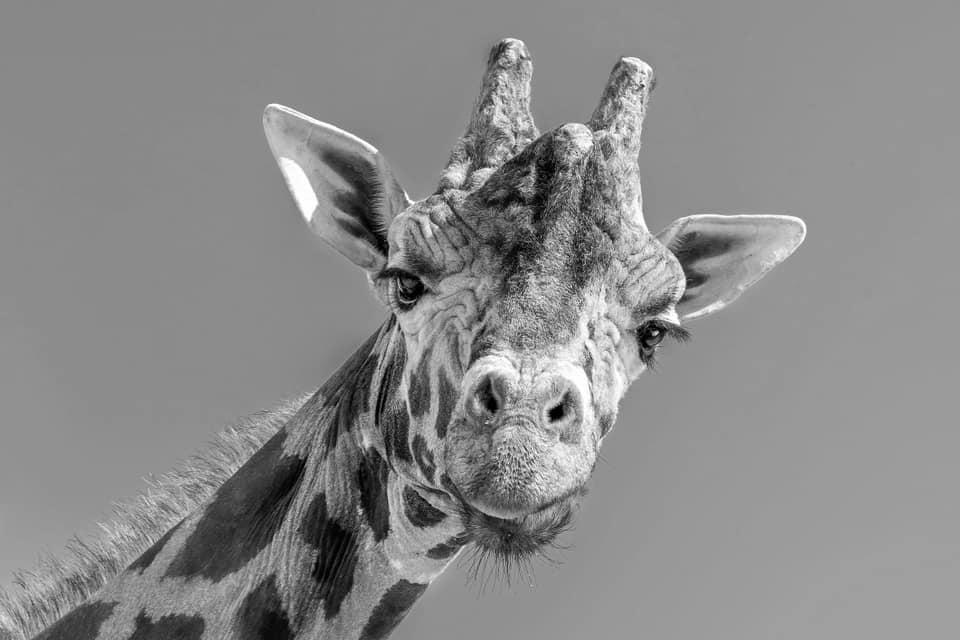 Elpusztult Kimbar, Európa legöregebb hím zsiráfja