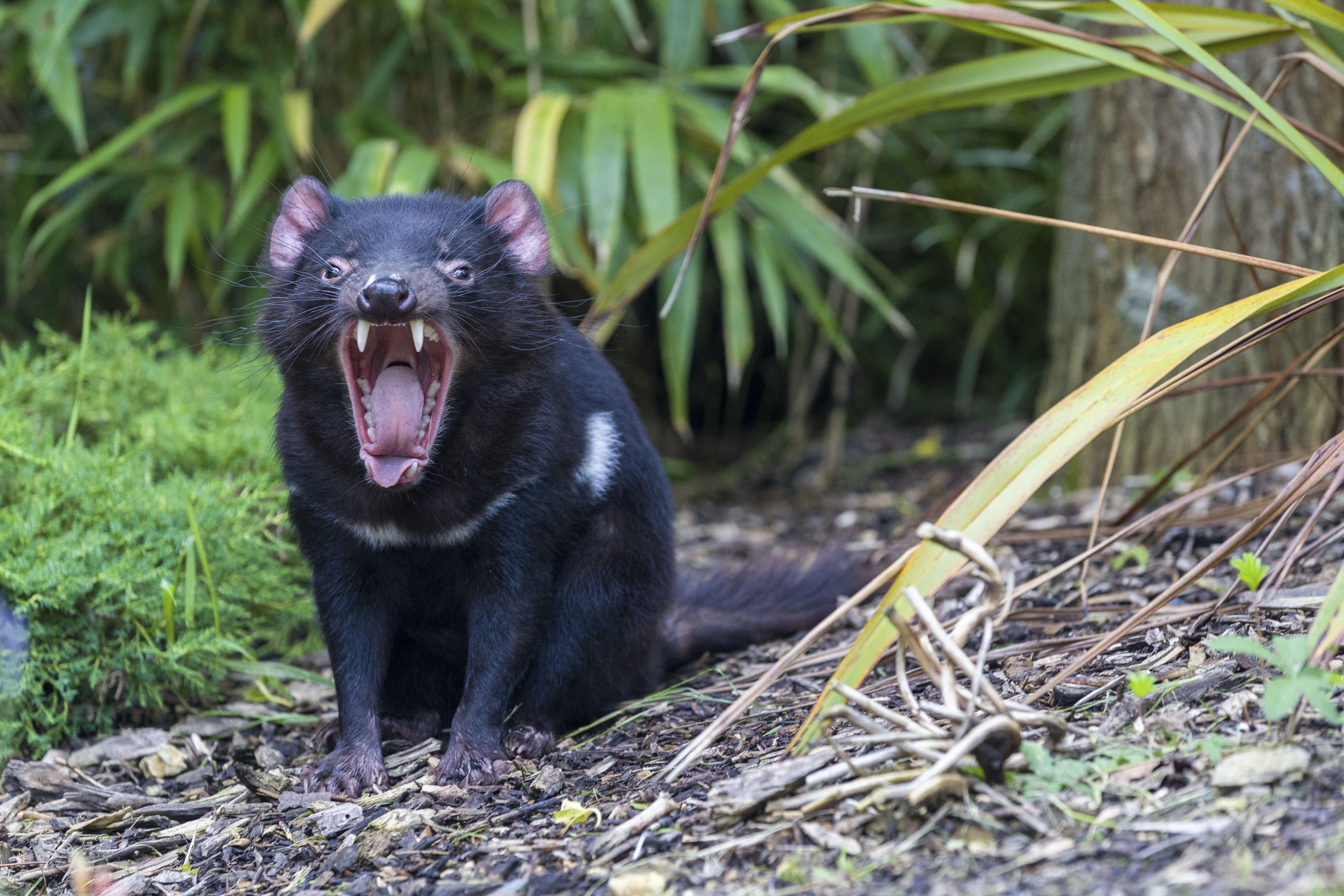 Kihalásuk után háromezer évvel újra erszényes ördögök születtek a vadonban Ausztráliában