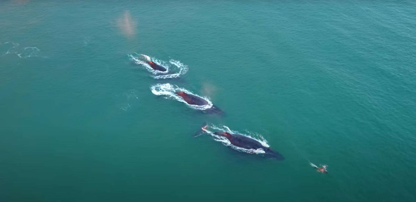Úgy elszaporodtak a hosszúszárnyú bálnák Ausztráliában, mint a nyulak