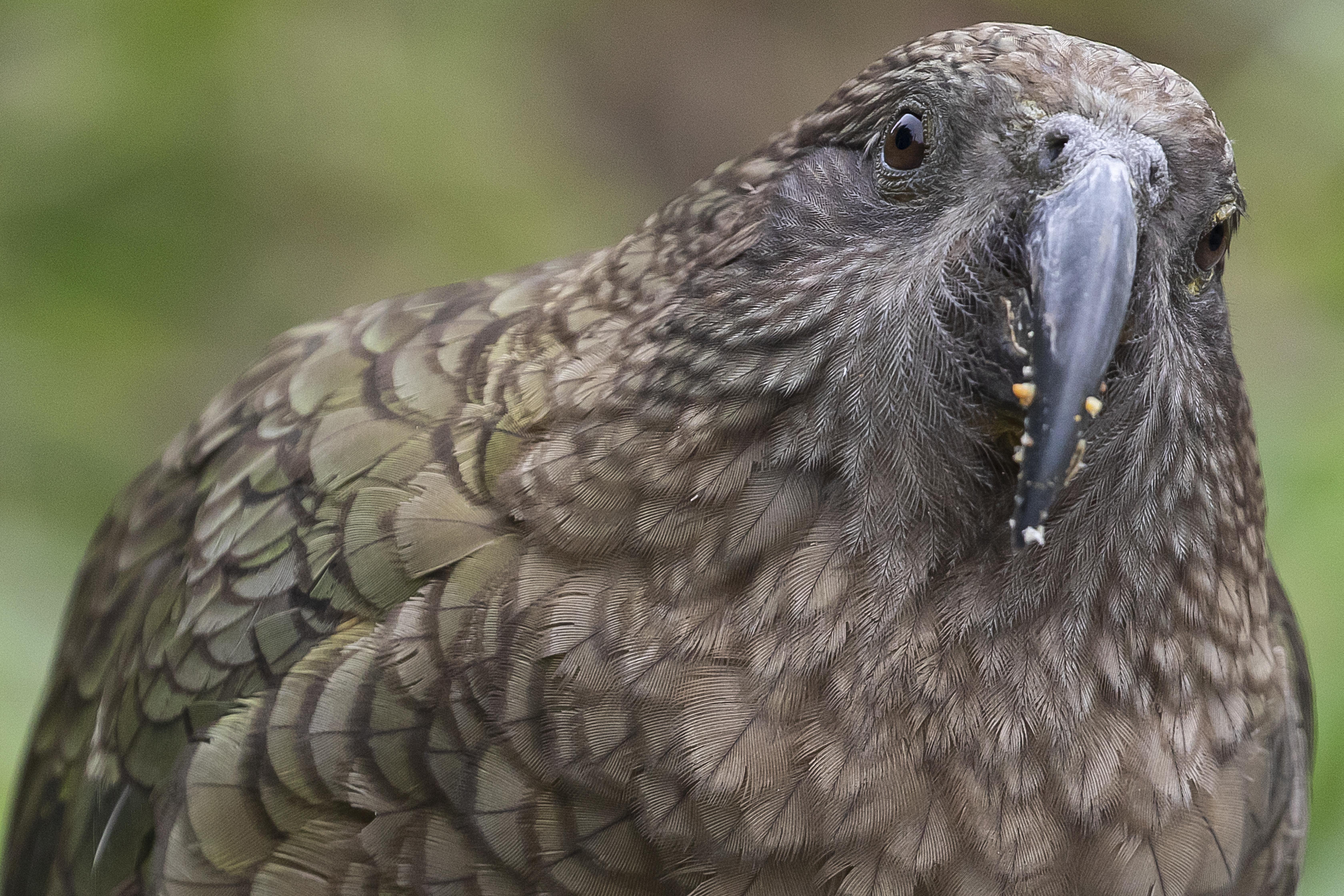 Az emberek elől költözhetett a hegyekbe a világ egyetlen alpesi papagájfaja