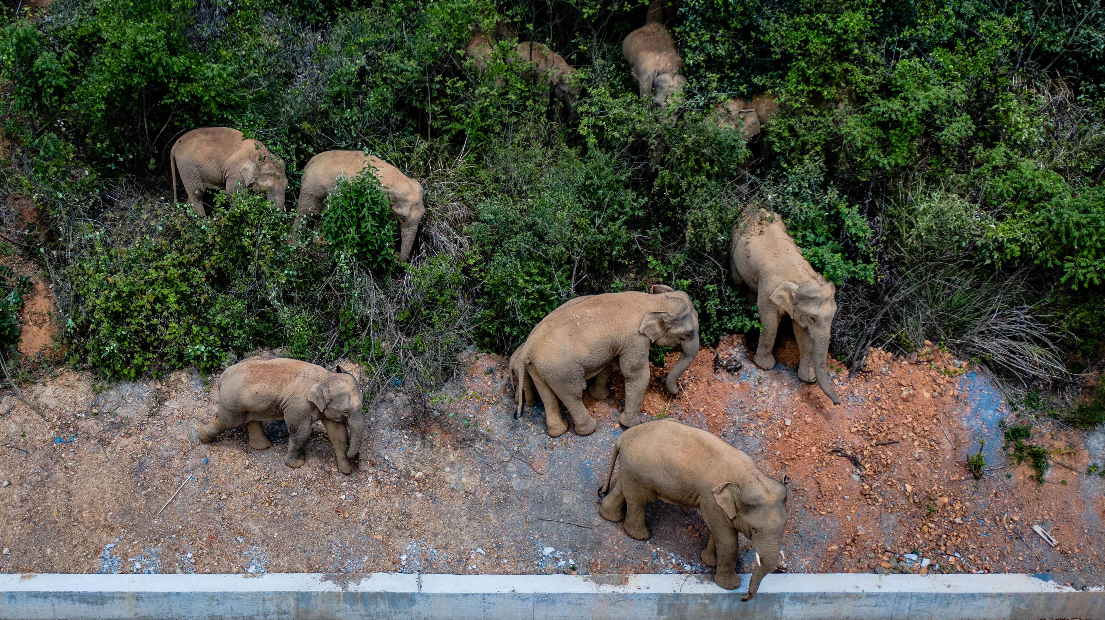 Egy megszökött elefántcsorda 500 kilométeren át taposott le egy csomó mindent Kínában