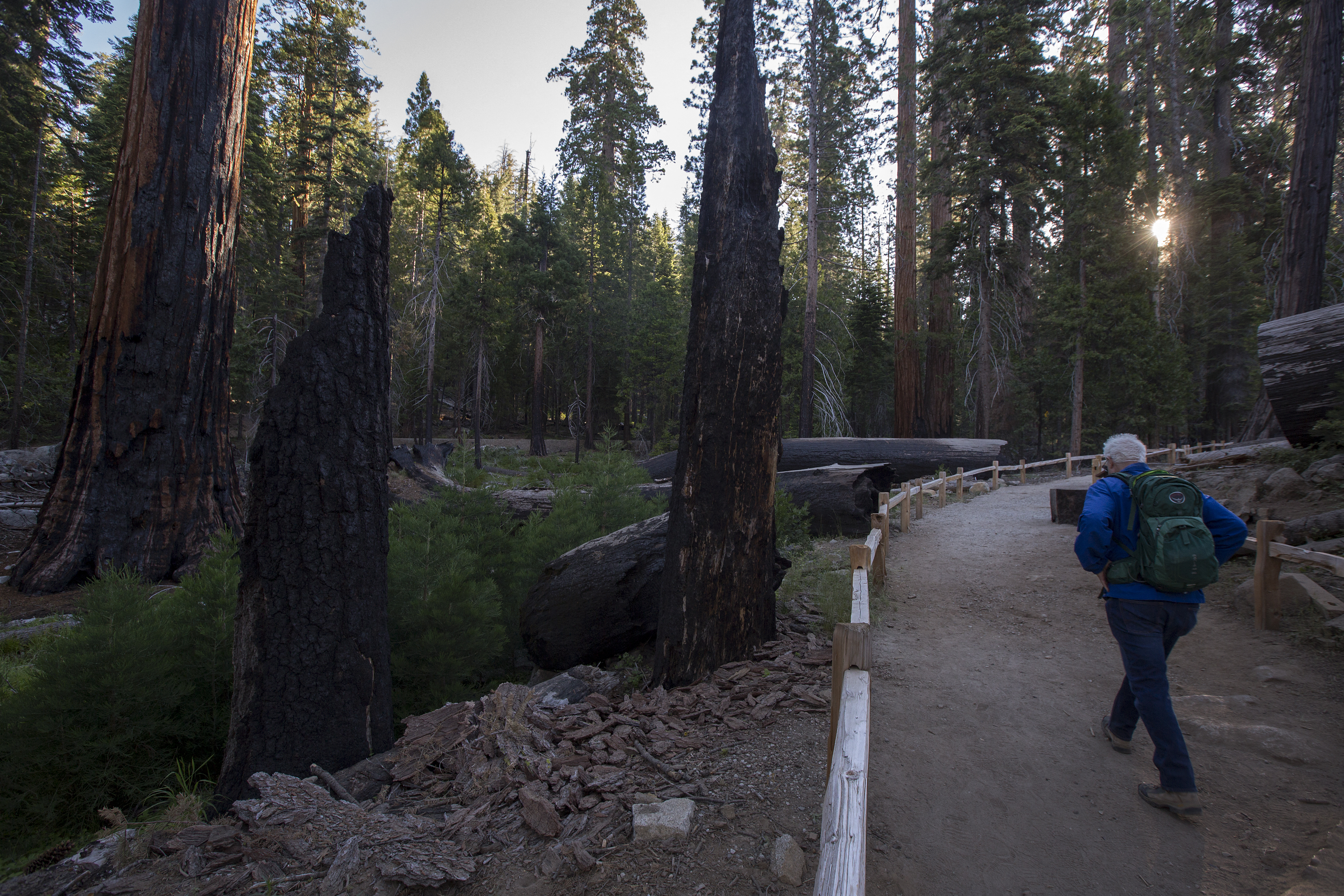 Egyetlen kaliforniai bozóttűzben elpusztult a világ óriás mamutfenyőinek 10 százaléka