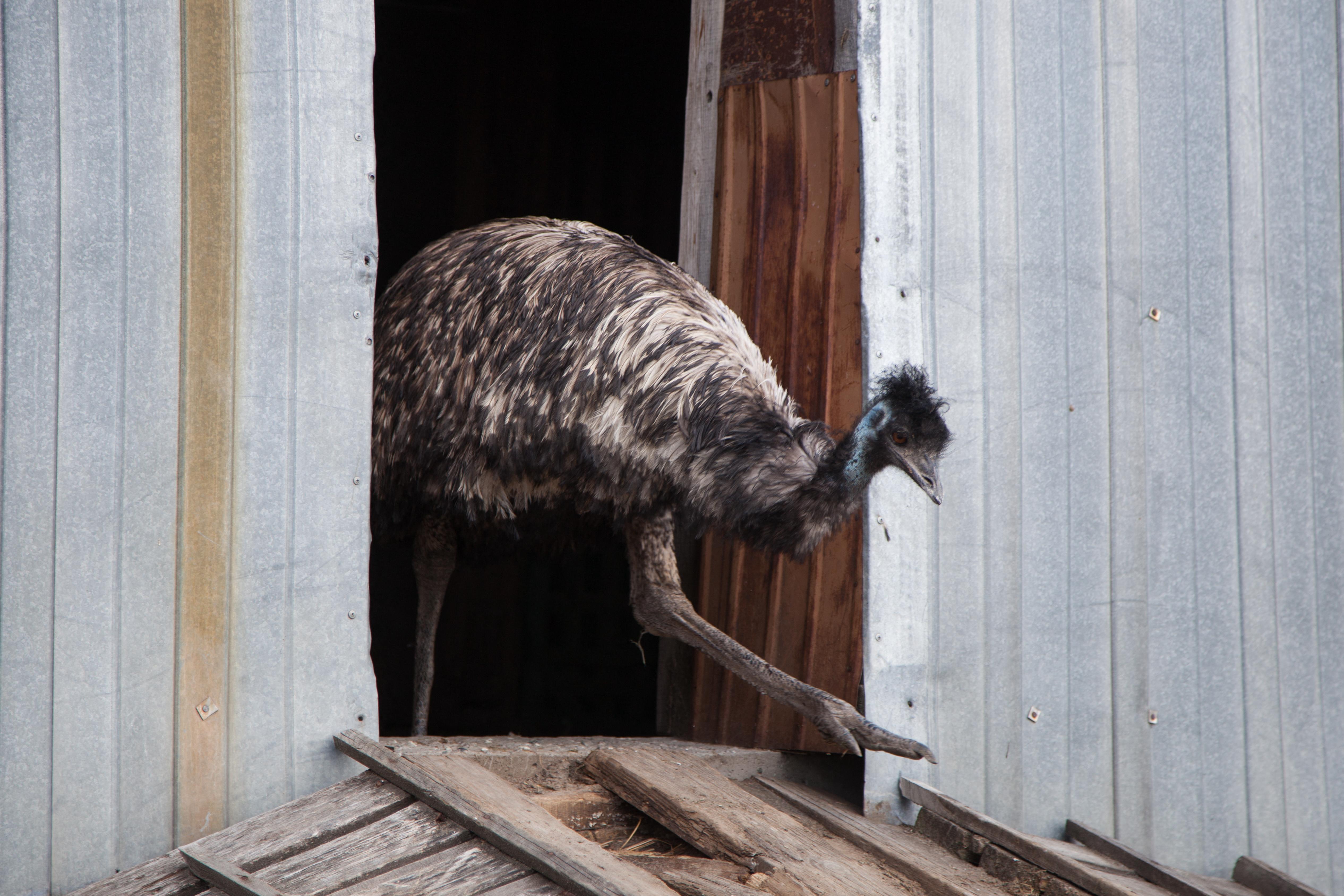 Kedd óta szökésben van egy emu Baja környékén