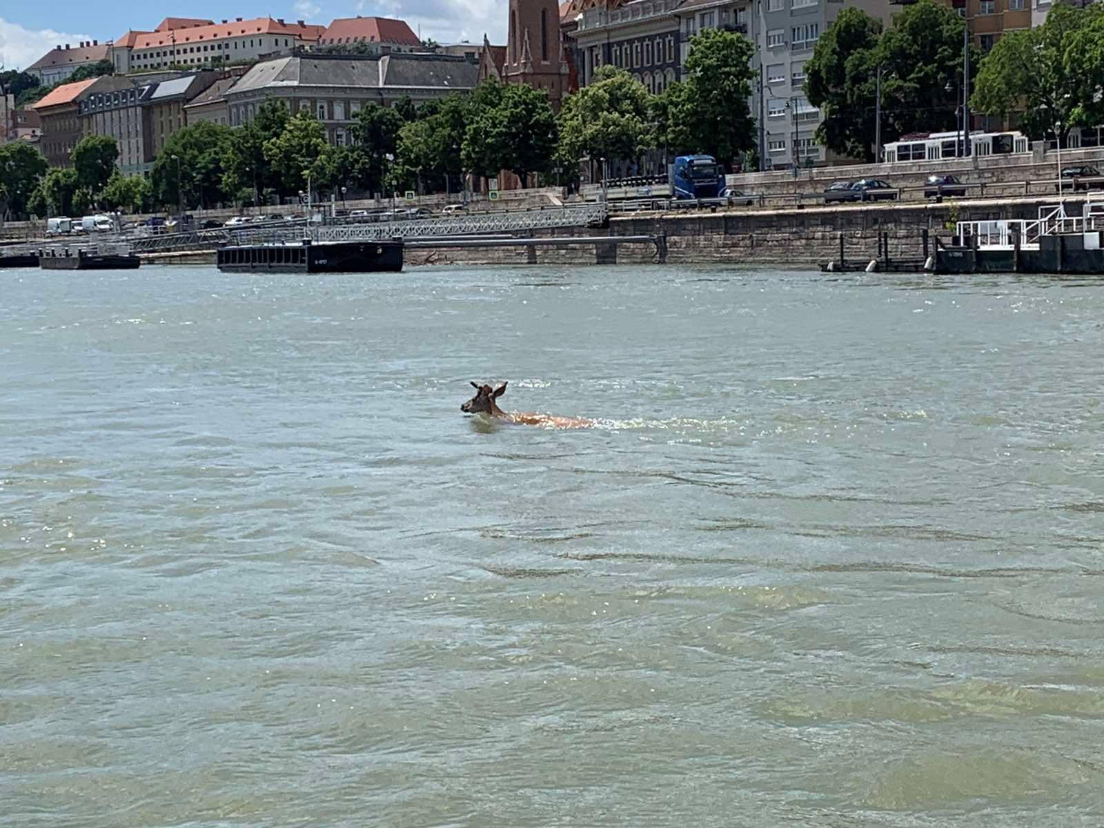 Gímszarvas úszott a Dunában Budapestnél
