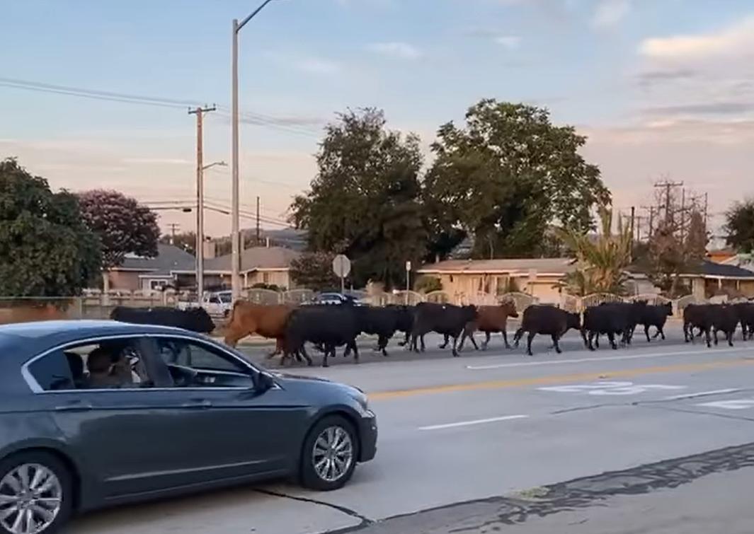 Megszöktek a marhák
