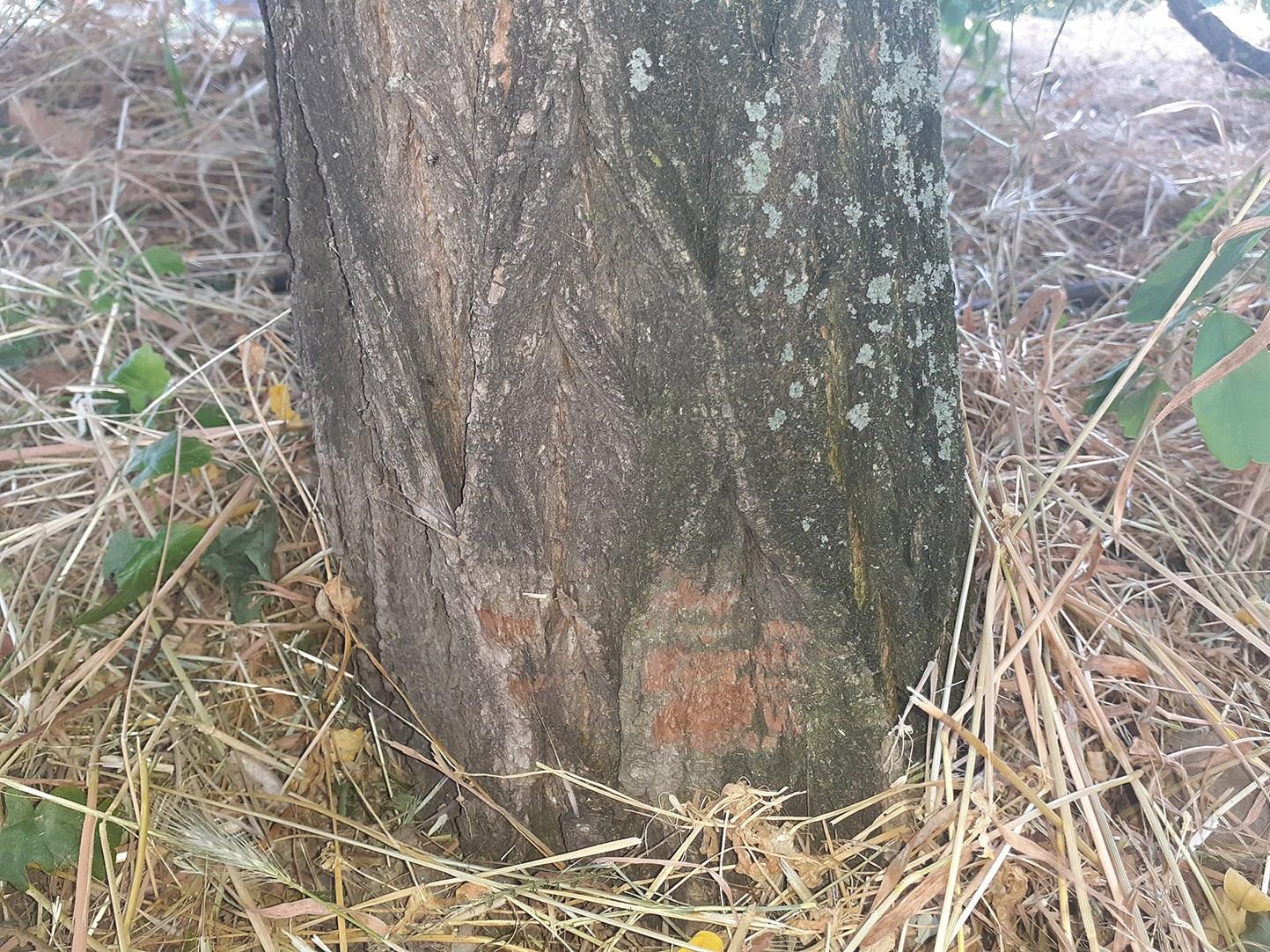 A fidelitasosok a fa törzsébe is belevágtak a benzines fűkaszával