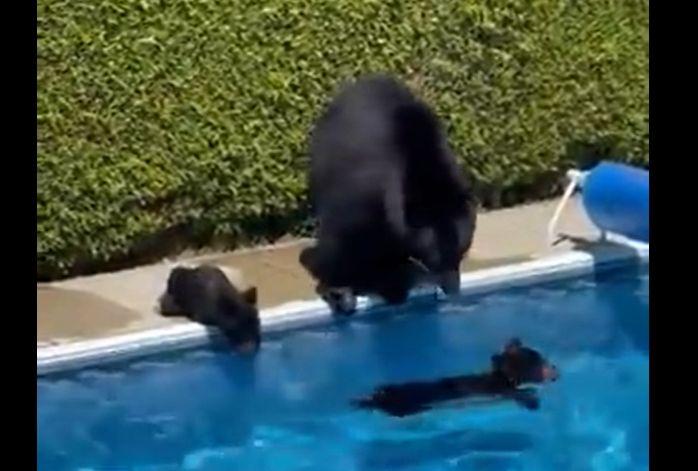 Akkora a hőség Kanadában, hogy egy medvecsalád beugrott egy kertesház medencéjébe
