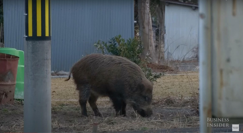 Házisertés-vaddisznó hibridek jelentek meg a fukusimai katasztrófa környékén