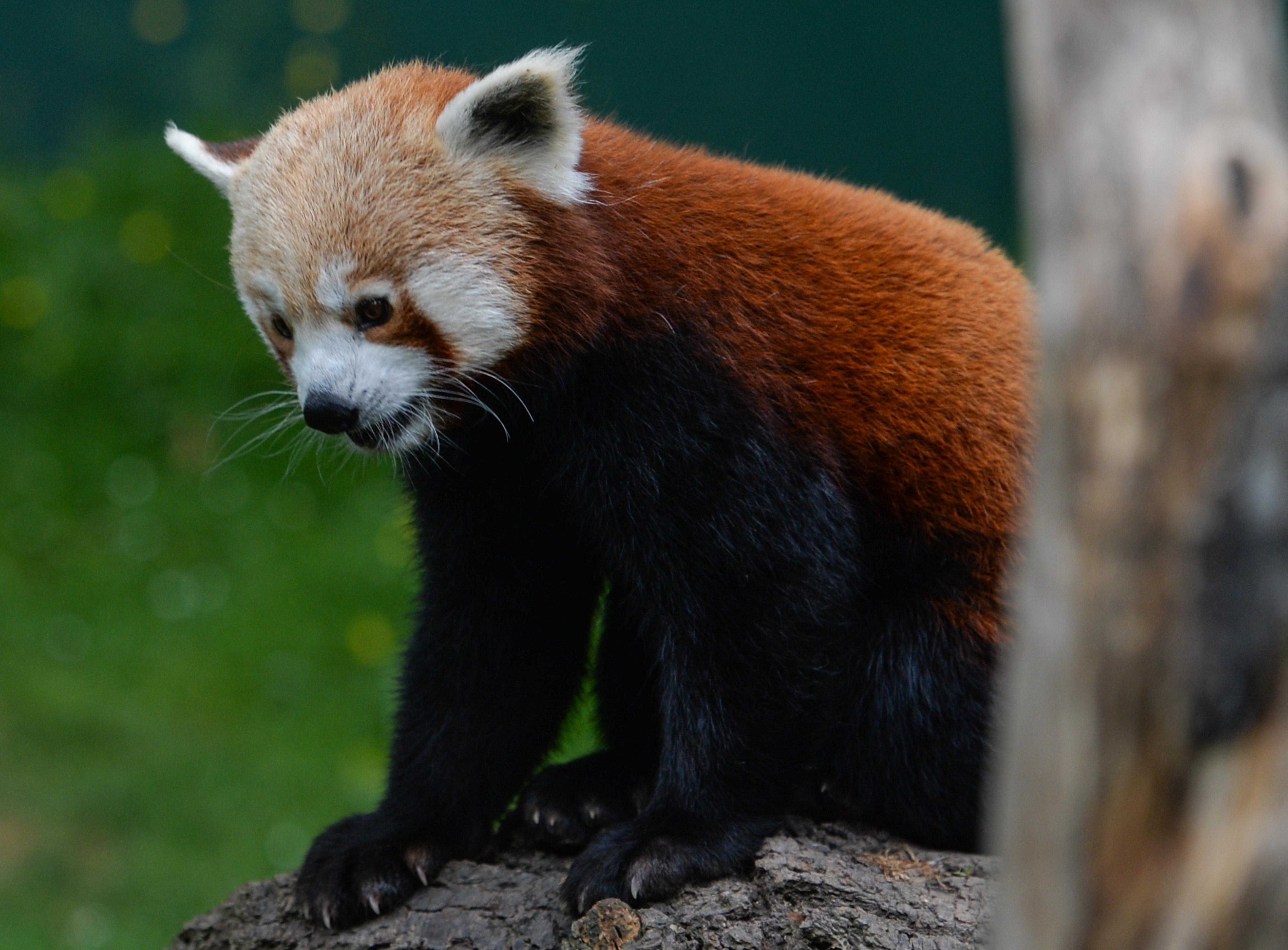 Eltűnt egy vörös panda egy német állatkertből