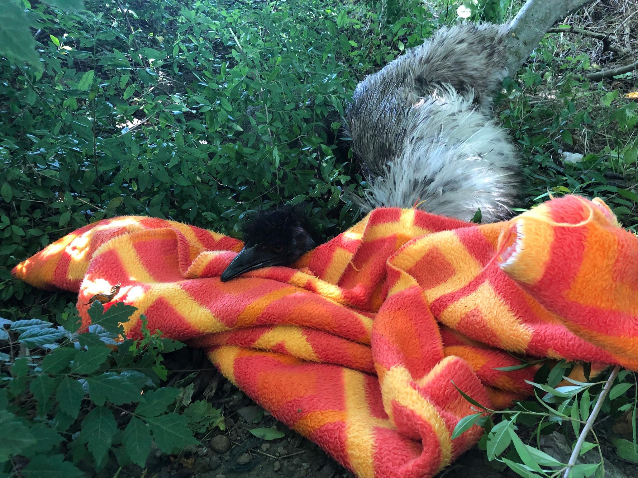 Egy szökött emu szaladgált Szegeden