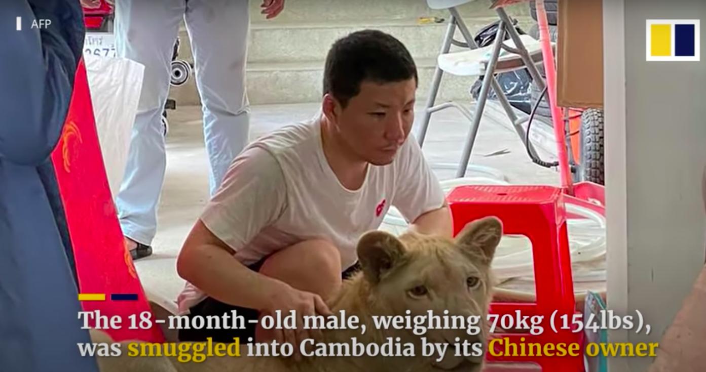 A kambodzsai miniszterelnök utasítására visszaadták egy férfi belvárosi lakásban tartott oroszlánját