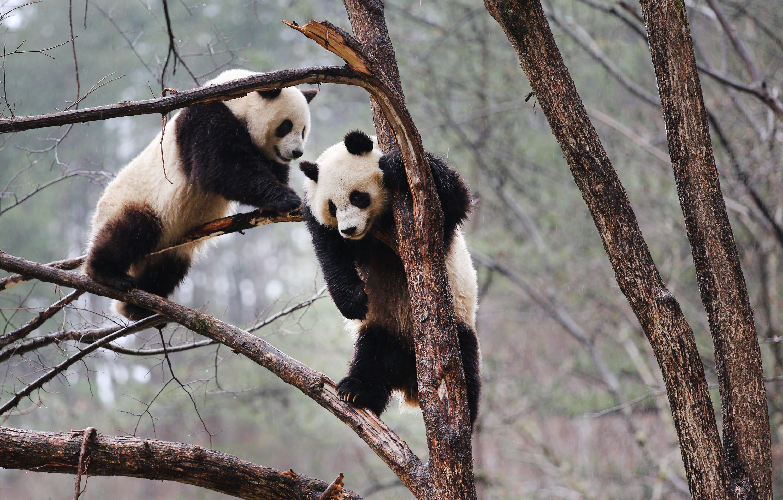 Lekerült a veszélyeztetett állatok listájáról a vadon élő óriáspanda