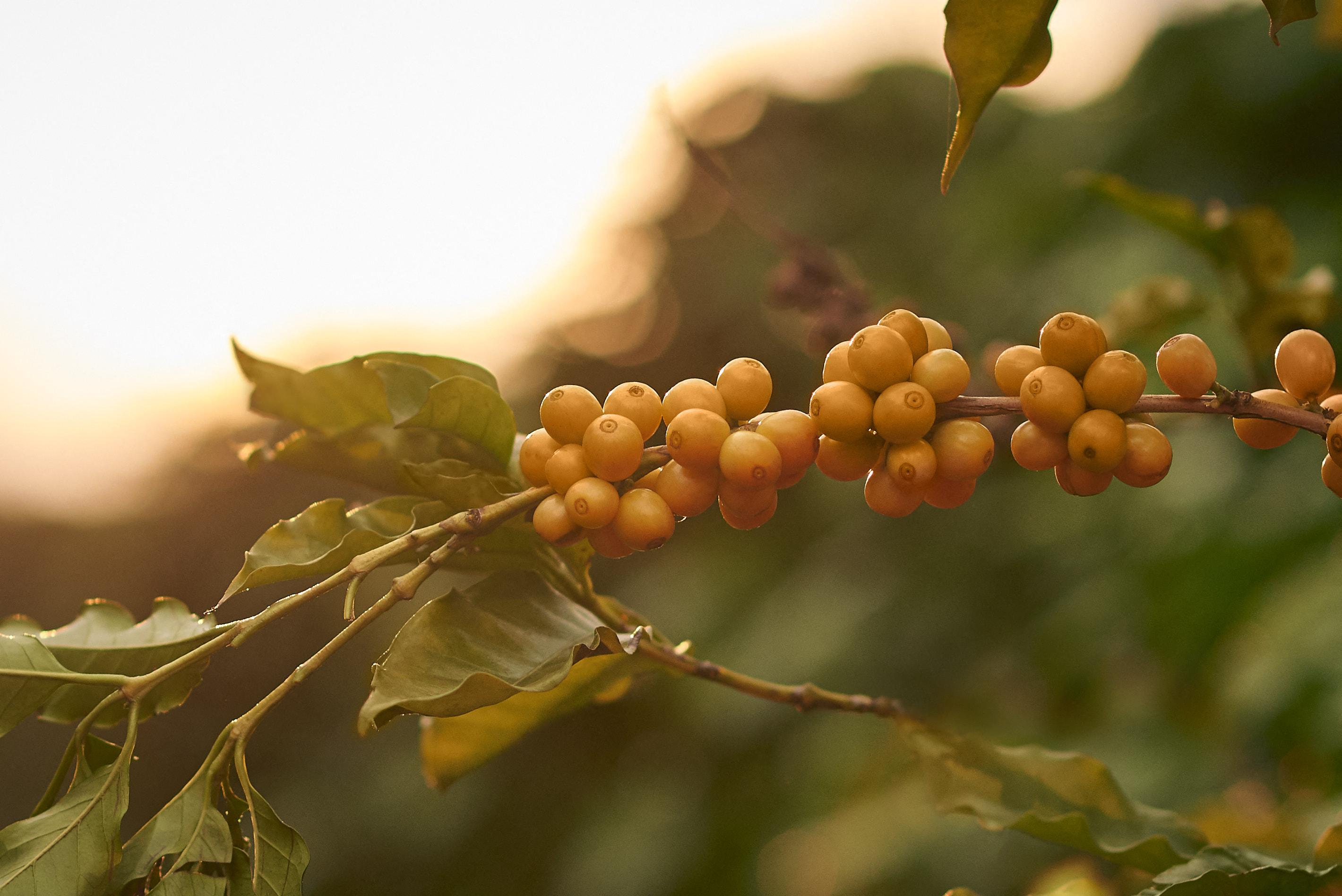 A pusztító brazil szárazság miatt drágulhat idén a kávé