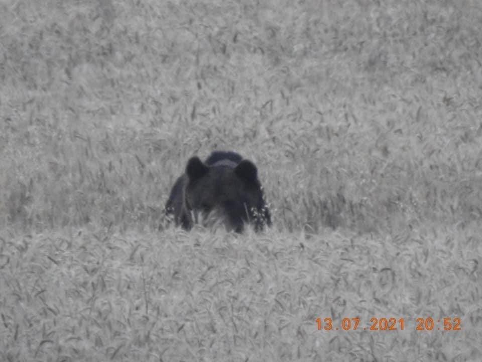 Magányos medve nézegette a búzakalászokat Isaszegen
