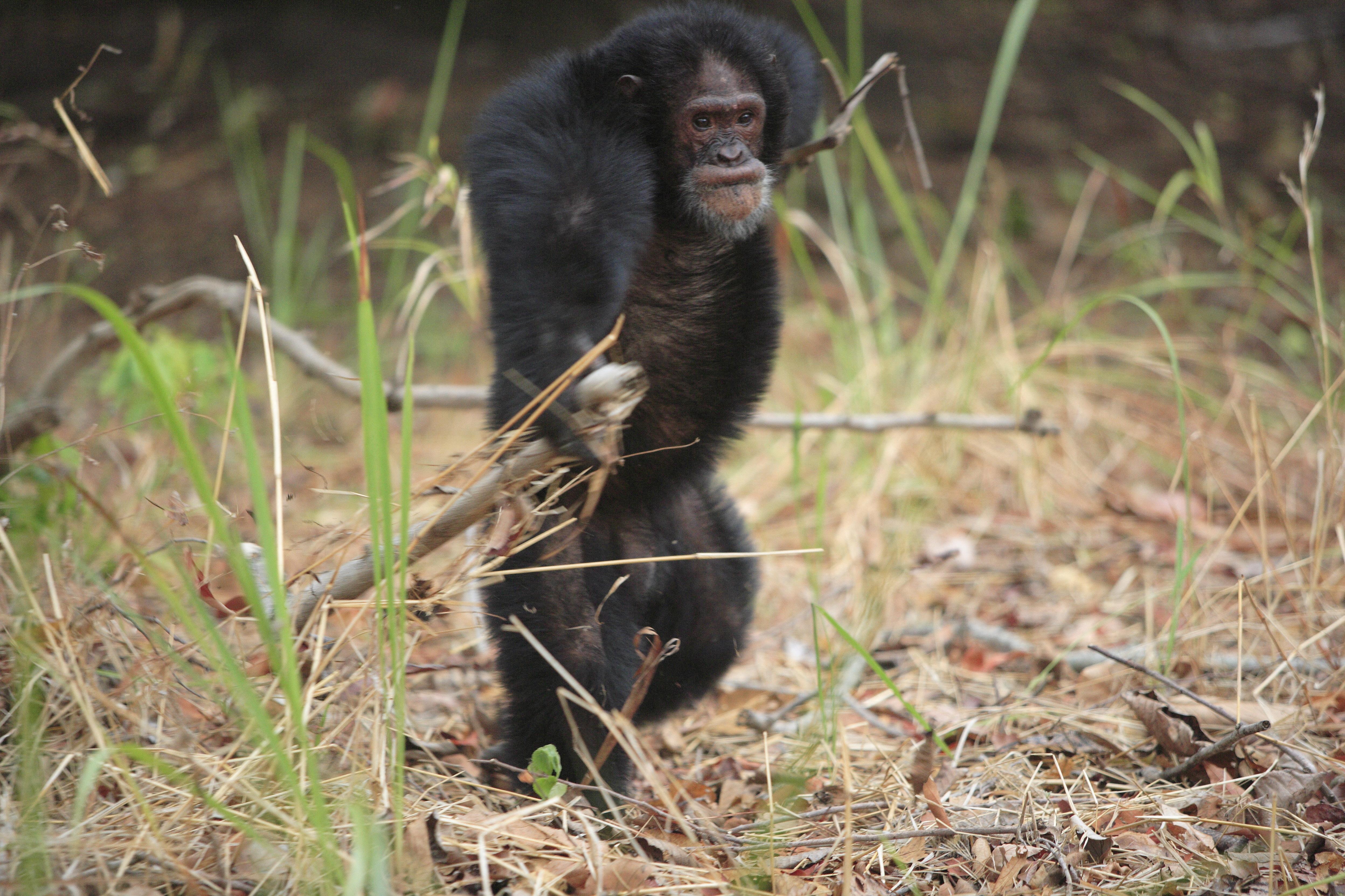 Gorillákat lincseltek meg a csimpánzok Gabonban