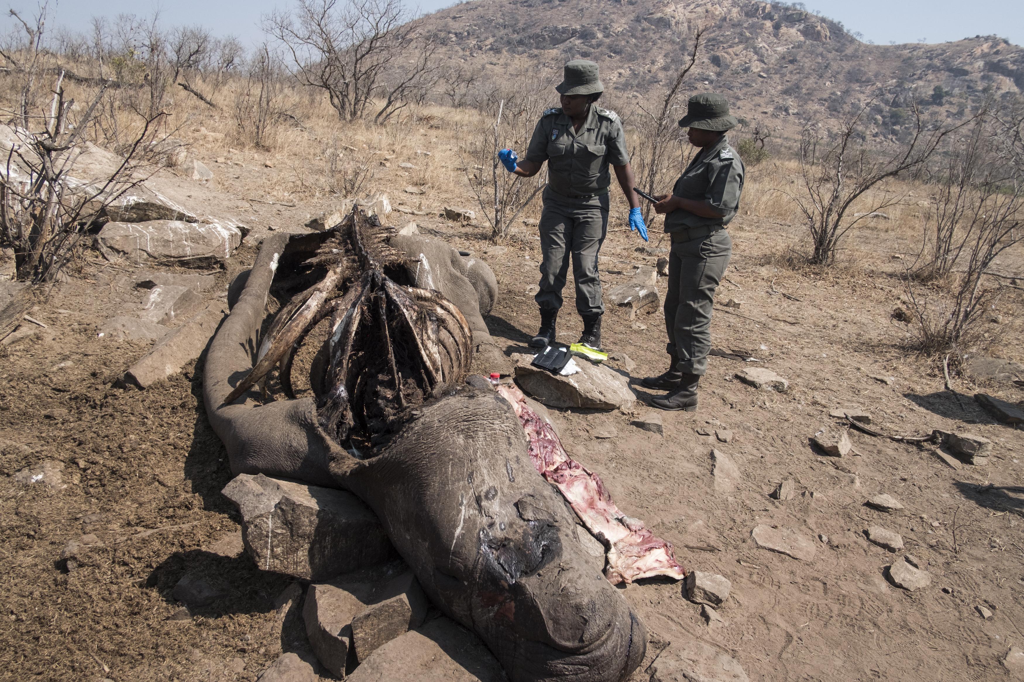 Ahogy feloldották a korlátozásokat, újra tömegesen kezdték gyilkolni az orrszarvúkat Dél-Afrikában
