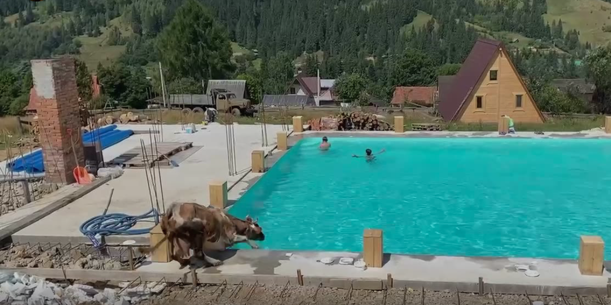Egy tehén ugrott a medencébe a pancsoló gyerekekhez a Kárpátokban