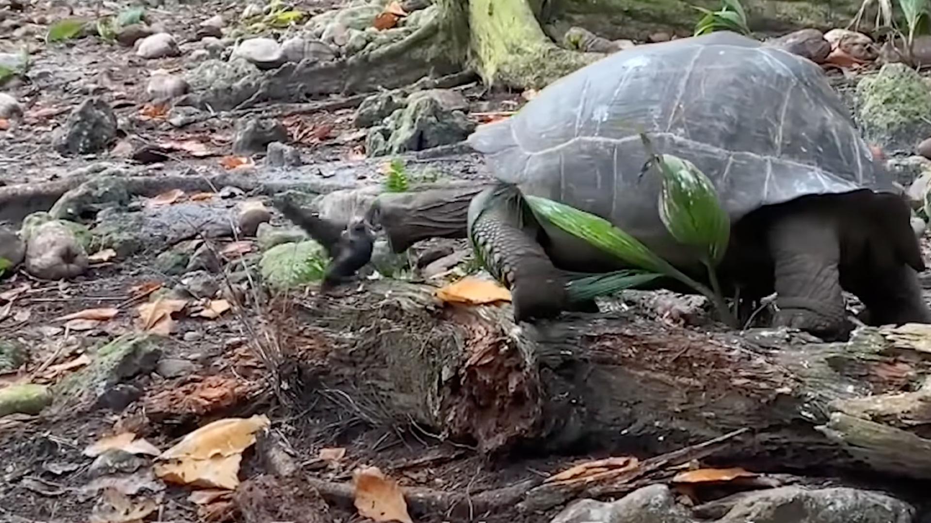 Úgy volt, hogy az óriásteknősök növényevők, míg valaki videóra vett egyet, ahogy megeszik egy kismadarat