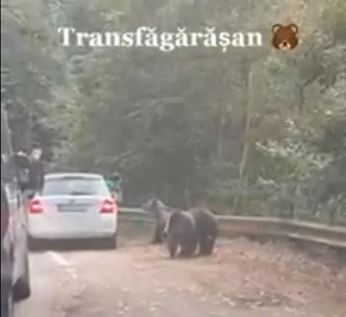 Egy erdélyi úton kihajolt az autóból, hogy medvéket fotózzon, és pont az történt, amire ilyenkor számítani lehet