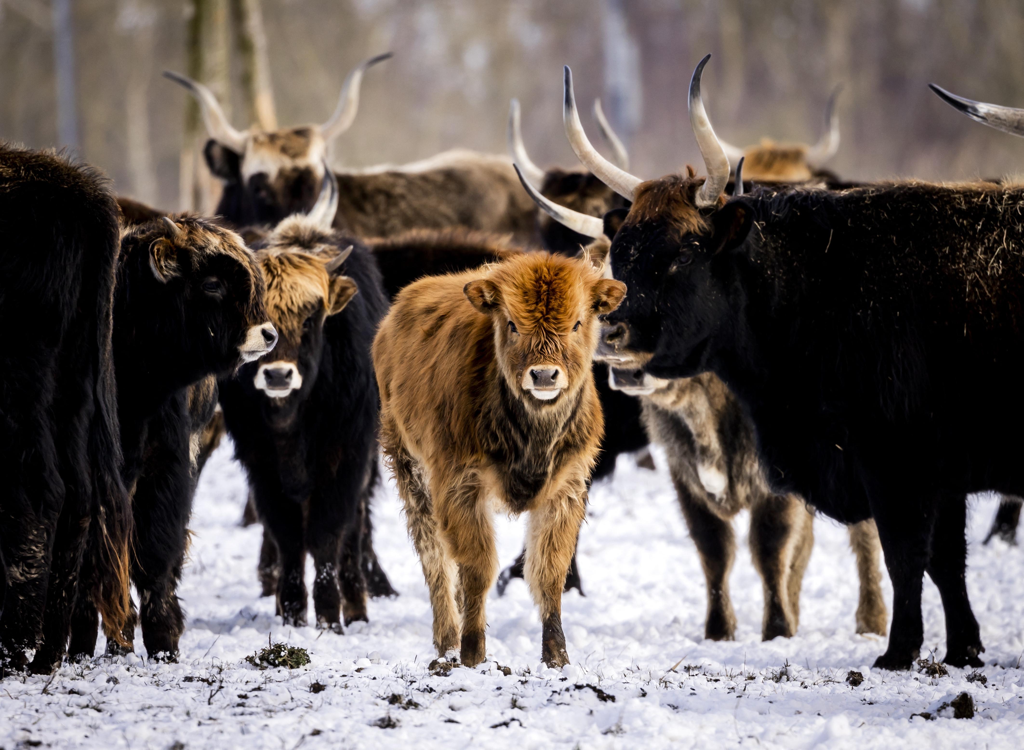 A szakértők a holland állatállomány radikális gyérítését javasolják