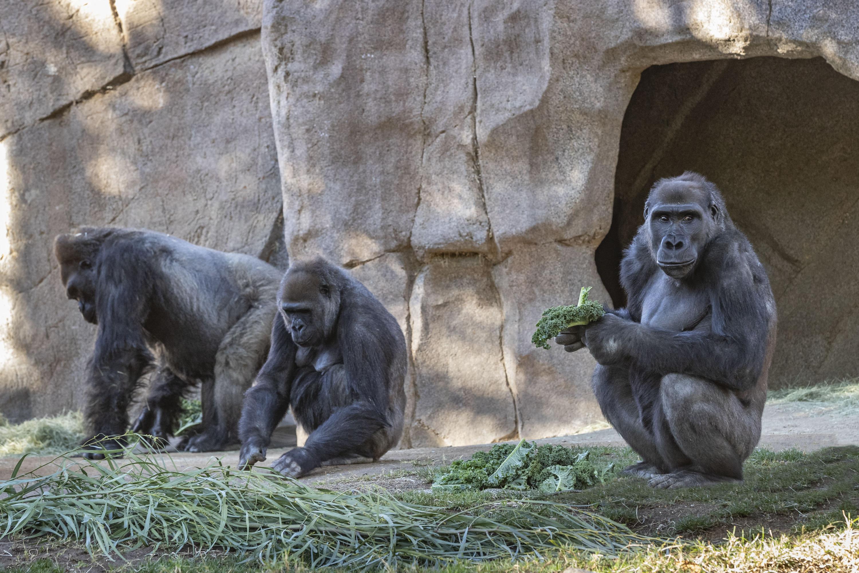 Legalább tizenhárom gorilla lett koronavírusos az atlantai állatkertben