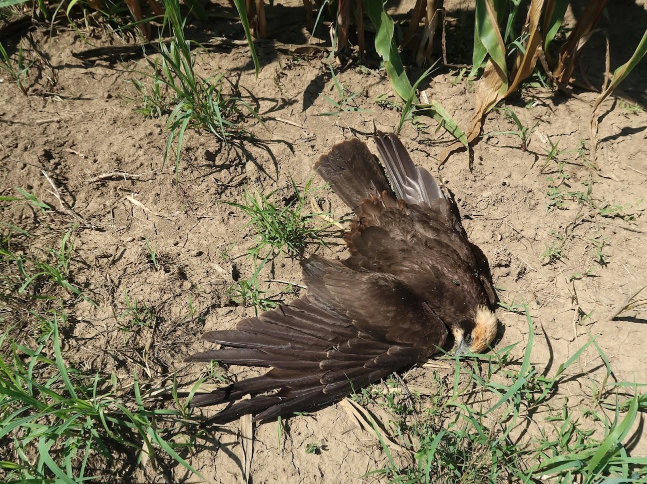 Minden idők legsúlyosabb magyarországi madármérgezése tovább szedi az áldozatait