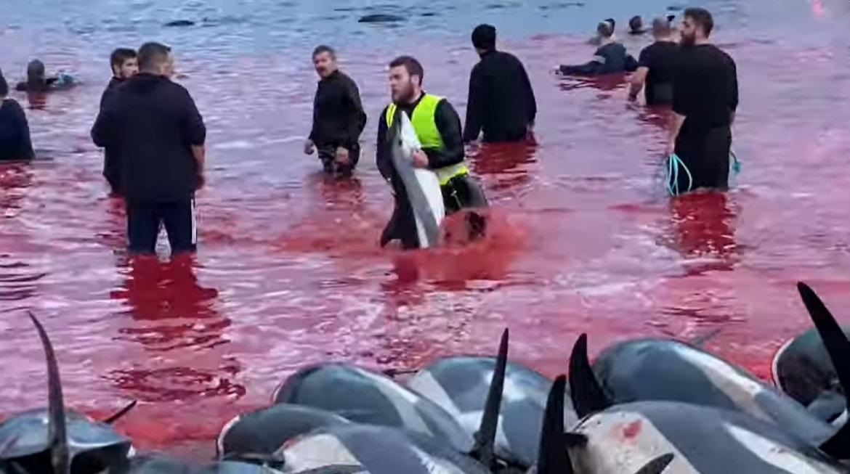 A nemzetközi tiltakozás hatására a Feröer-szigetek felülvizsgálja a delfinvadászat brutális hagyományát