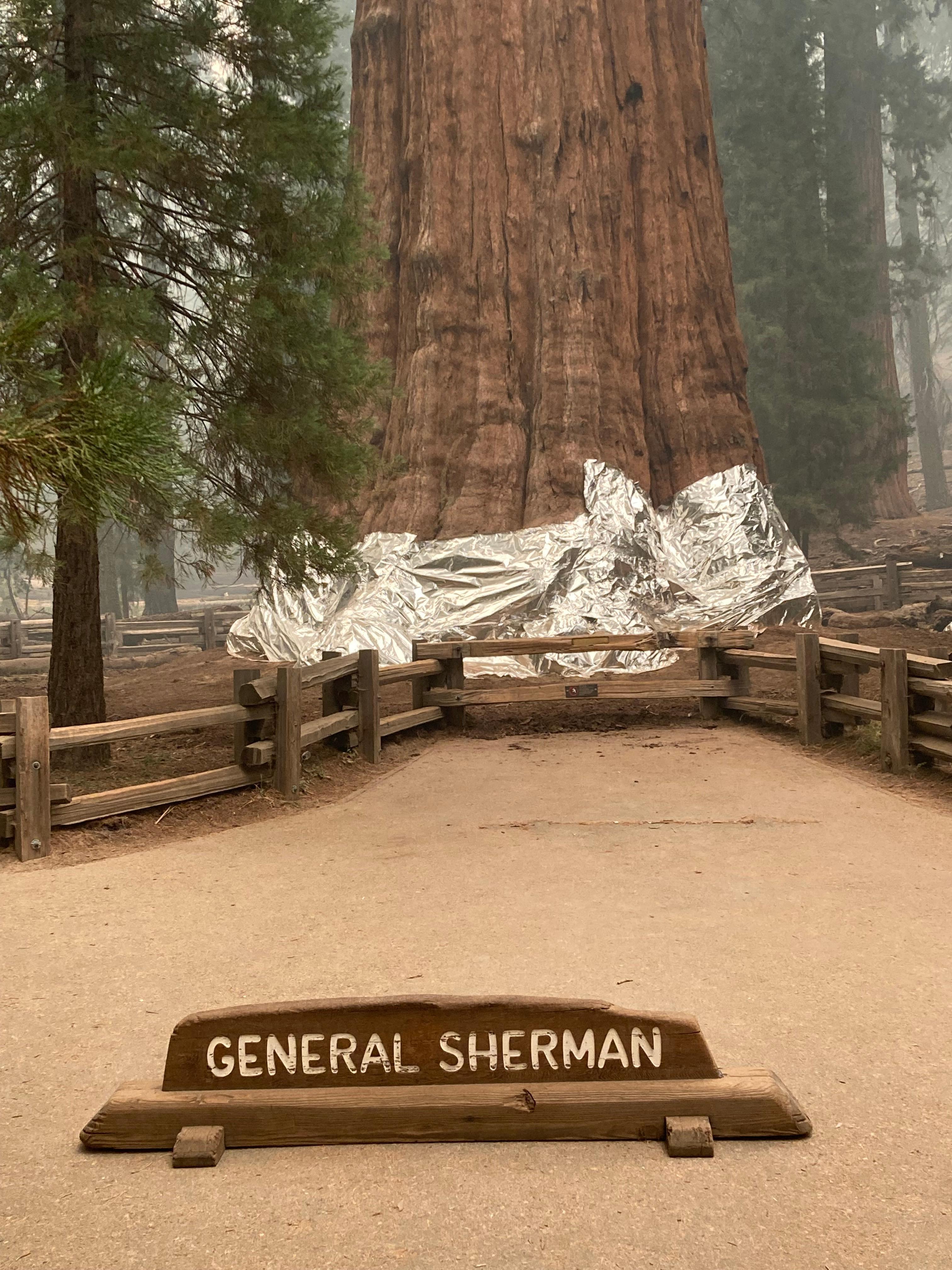 Tűzálló takarókkal próbálják megvédeni az erdőtűztől Sherman tábornokot, a világ legnagyobb fáját