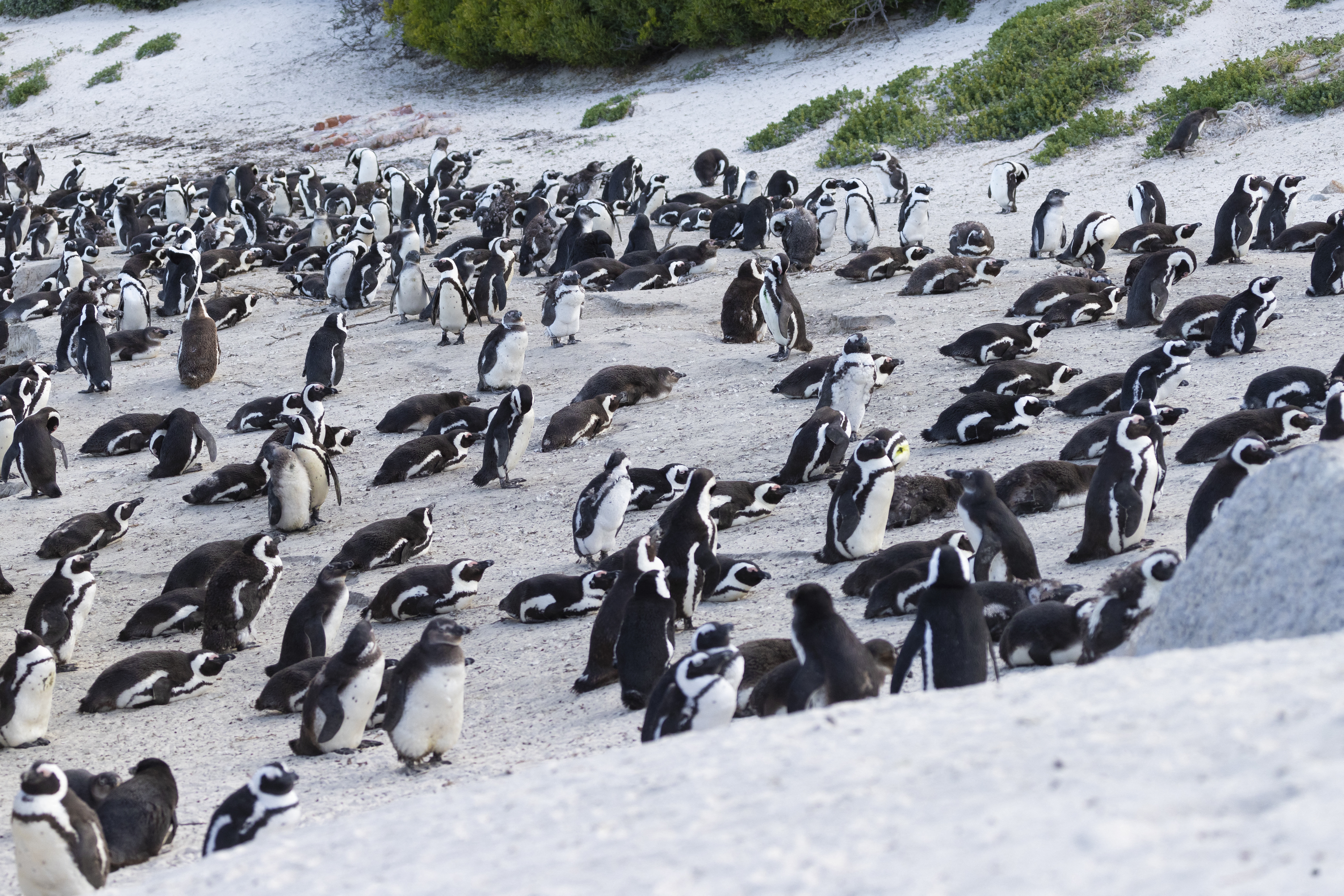 63 pingvinnel végzett egy méhraj Fokváros közelében