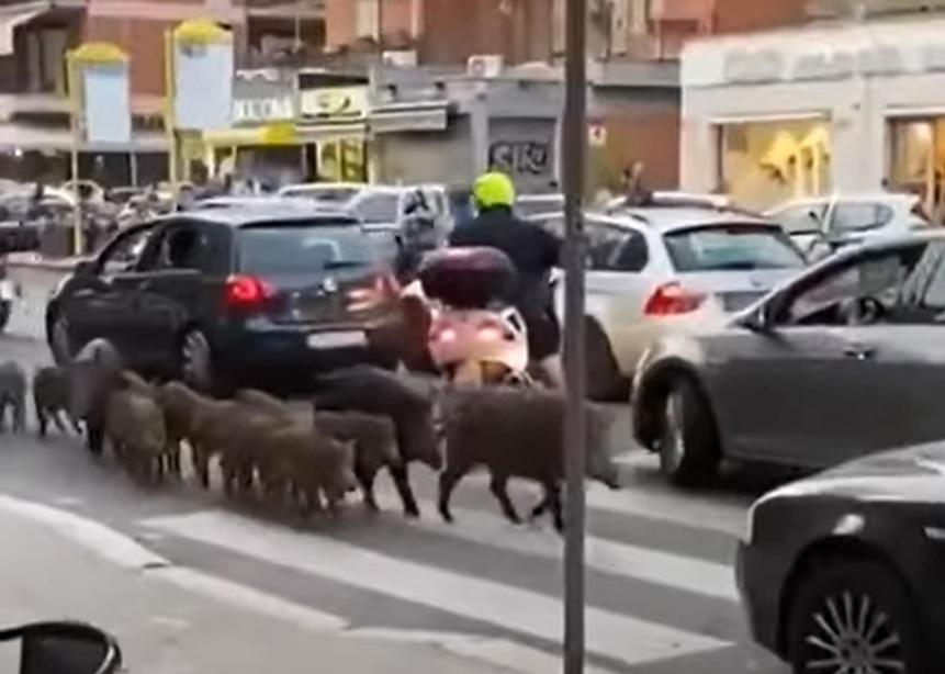 Vaddisznók és vadmalacok kocogtak Róma utcáin